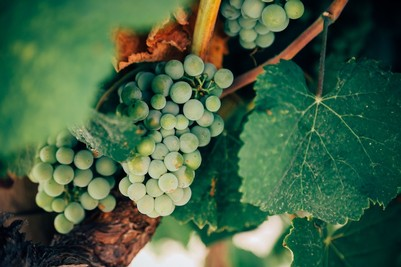 Chardonnay grapes on a vine